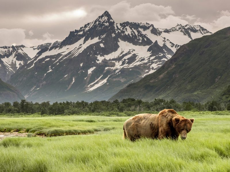 Grizzly,Bear,Of,Shores,Of,Alaska.